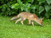 Nieuwsgierige vos